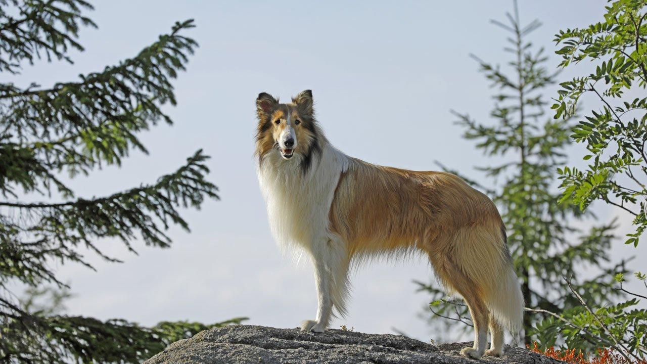 Lassie de Volta a Casa / Lassie - Eine abenteuerliche Reise / Lassie Come Home (2020)