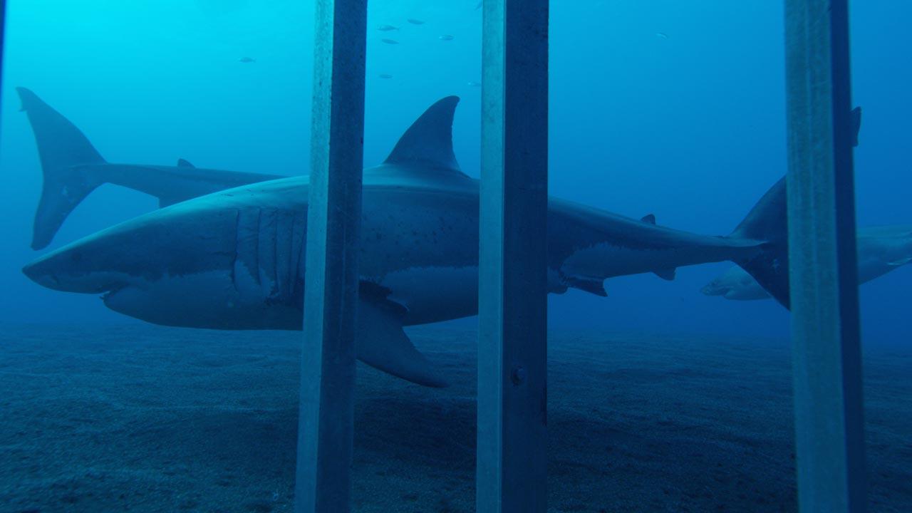 """""""Shark Week"""" faz 30 anos e arranca a 22 de julho no Discovery Channel"""