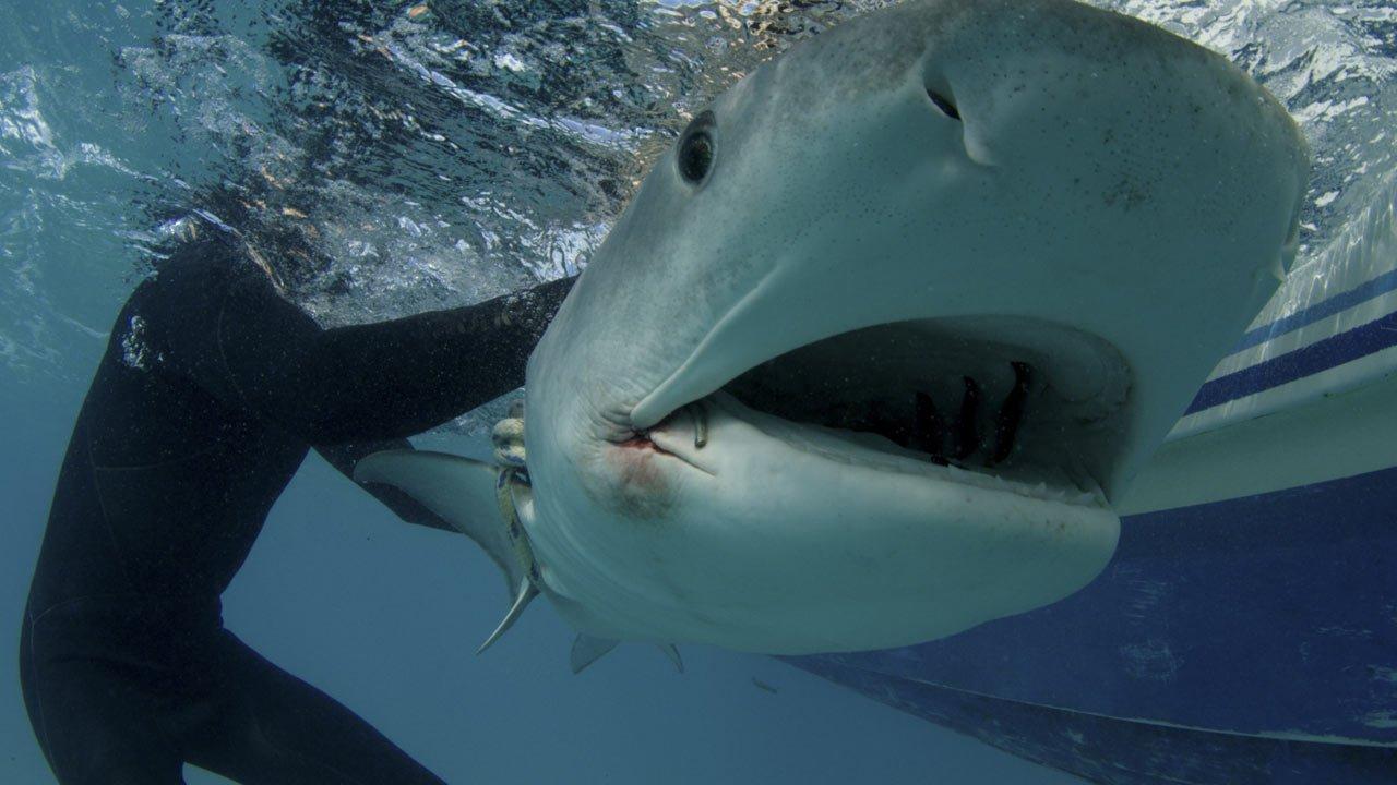 """Afiem os dentes - vem aí a edição 2018 da """"Shark Week"""" no Discovery Channel"""