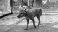 """O """"restauro"""" do último lobo-da-tasmânia num filme de 1935 em película de nitrato"""