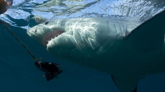 """Em novembro no Discovery Channel: """"Especial Domingos Com os Tubarões"""""""