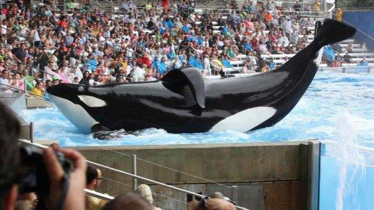 """Morreu a orca do SeaWorld que foi tema do documentário """"Blackfish"""""""